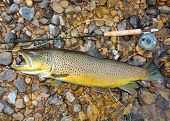 Trophy fish, rod and reel - a huge record sized Salmon related fish (salmonid) Brown Trout fish next to a fly rod prior to release poster