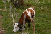 Grazing cow with a fence. poster
