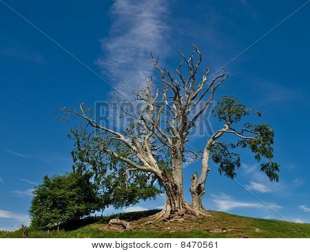 A big tree on a hill with a blue sky and a single stip of cloud. poster