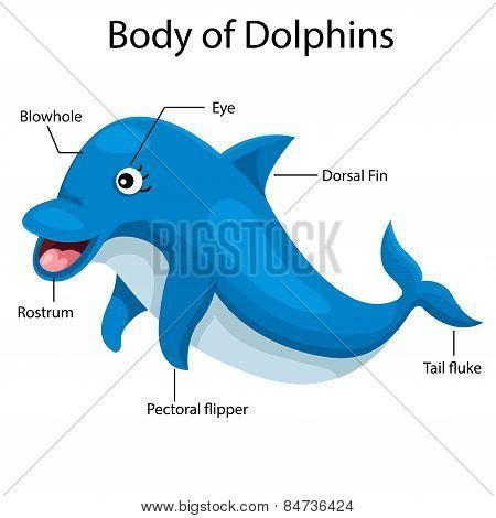 Illustrator body of dolphins