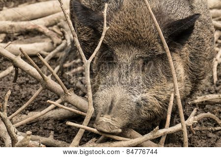 Wild pig at the zoo.