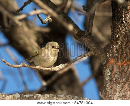 Diminutive female Ruby-crowned Kinglet perched on an Oak tree in winter