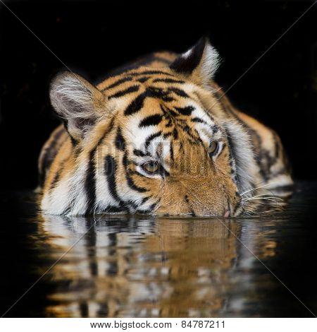 Tiger Sumatran