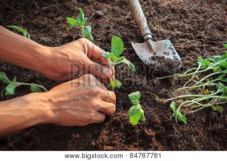 Human Hand Planting Young Sunflowers Plant On Dirt Soil Use For People Activities In Gardening And N