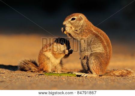 Feeding ground squirrels (Xerus inaurus) in late afternoon light, Kalahari desert, South Africa
