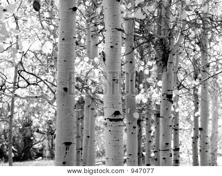 Black And White Image Of Aspen Trees