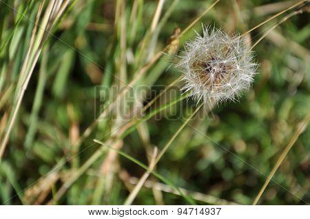 White fluffy dandelion. Flowering dandelion. Shallow depth of field, blurred natural background.