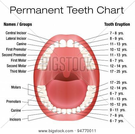 poster of Teeth names and permanent teeth eruption chart with accurate notation of the different teeth, groups and the year of eruption. Isolated vector illustration over white background.