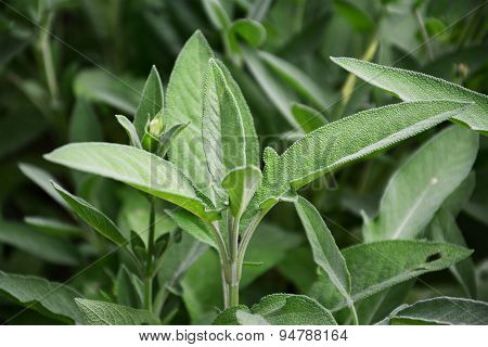 Sage Plant Leaves (salvia Officinalis)
