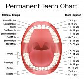 Teeth names and permanent teeth eruption chart with accurate notation of the different teeth, groups and the year of eruption. Isolated vector illustration over white background. poster