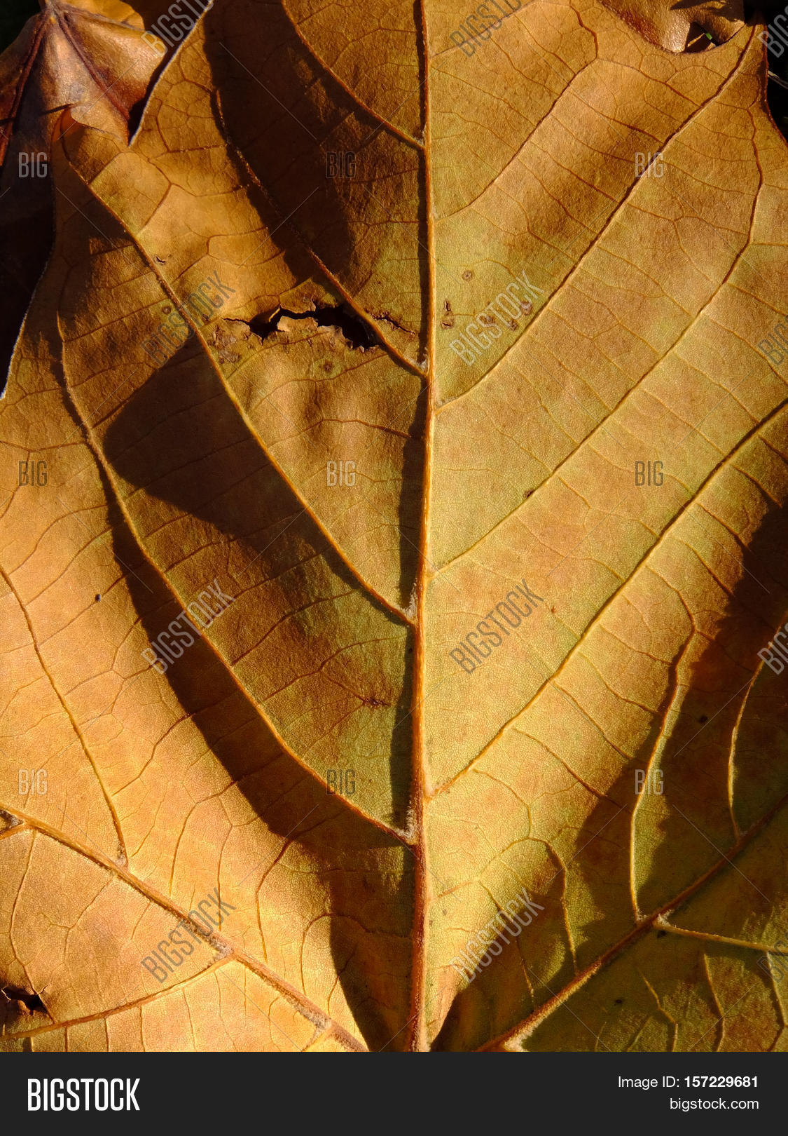 The vascular system of a downed and browning leaf during Autumn