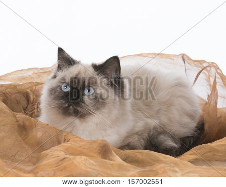 beautiful ragdoll cat laying on brown blanket