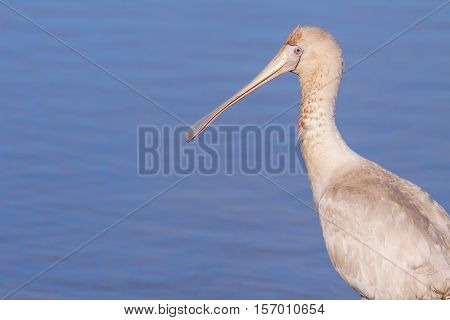 A Yellow-billed Spoonbill (Platalea regia) at Herdsman Lake in Perth, Western Australia.