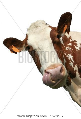 Isolated Cow Portrait