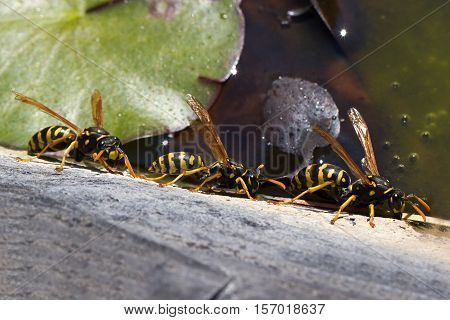 Wasps / Group wasps drinking water from a pond.