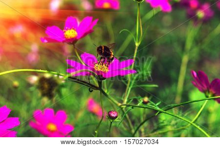 insect bumble bee flying to a pink flower at sunset.