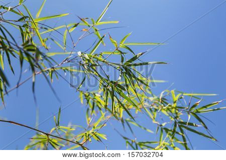 Bamboo Tree In Front Os Blue Sky