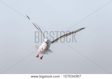 Seagull open up wings on flying in blue sky with warm sunlight in morning.