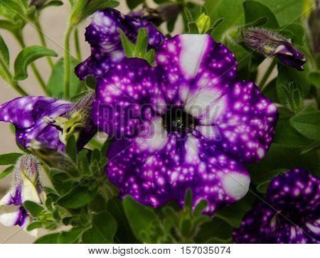 Macro of new petunia night sky flower
