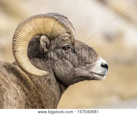 Bighorn sheep ram portrait in autumn near rut in National Elk Refuge