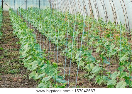 Growing cucumbers in greenhouses with drip irrigation in rows and Garter