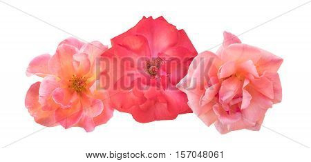 A photo vignette of beautiful pink and red roses, isolated on white background