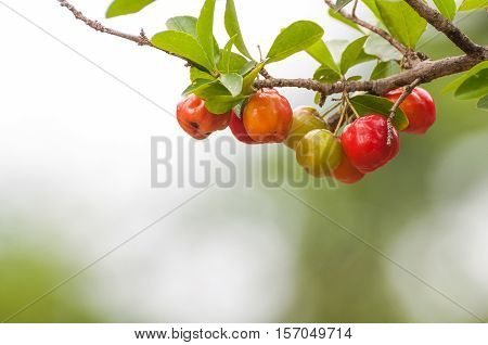 Acerola fruit hanging from branches of a tree