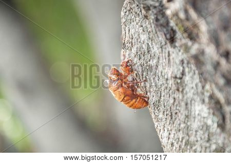 Cicada's shell attached to the tree trunk.