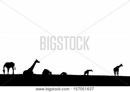 giraffes silhouette gathering in the grass on fota wildlife park in county cork ireland
