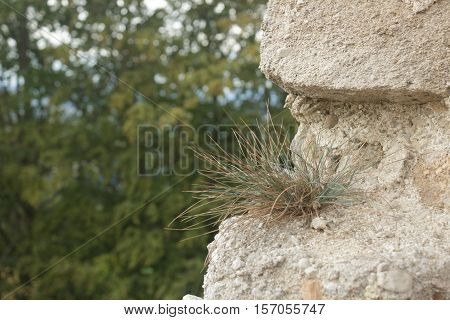 solitaire grass growing in an old wall between dry stones