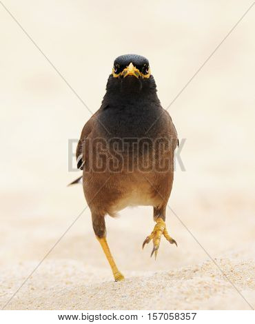 Common myna (Acridotheres tristis) walking at sand beach of Phuket island Thailand