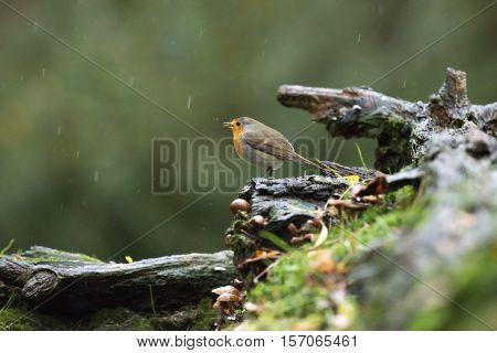 European Robin (erithacus Rubecula) Perching On Wet Dead Tree Stump In The Rain.