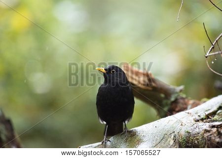 Common Blackbird (turdus Merula) Male Sitting On Wet Branch During Rain