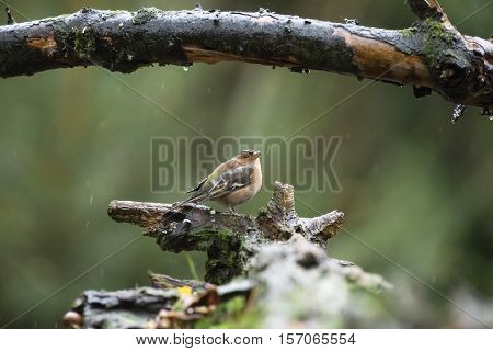 Female Common Chaffinch Perching On Wet Tree Stump In Forest In Rain.