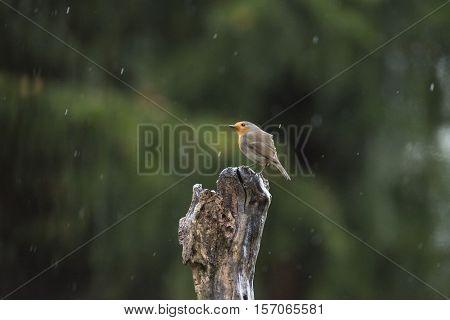 European Robin (erithacus Rubecula) Perching On Tree Trunk In The Rain.