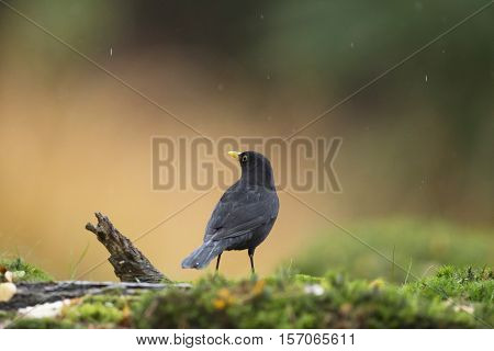 Perching Male Common Blackbird (turdus Merula) On Mossy Forest Ground In The Rain.