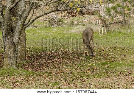 White tail deer grazing in grass around a tree in Coeur d'Alene Idaho.