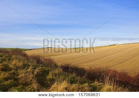 sweeping golden straw stubble fields with dry grasses and red foliage in autumn in a yorkshire wolds landscape under a blue sky with wispy white cloud