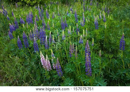Wild lupine growing at the forest edge