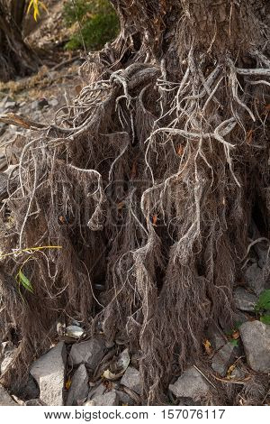 Photo of naked willow roots during drought