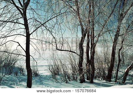 Winter scene -frosty snowy trees near the river at the winter sunrise. Winter background of winter nature in cold tones - winter sunny landscape. Winter nature in the morning