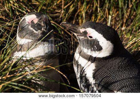 The Magellan penguin couple in love in Martillo island