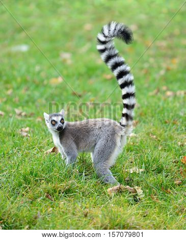 One ring tailed lemur (Lemur catta) in the grass