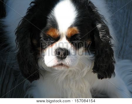 Adorable English Toy Spaniel puppy dog with a somber expression.
