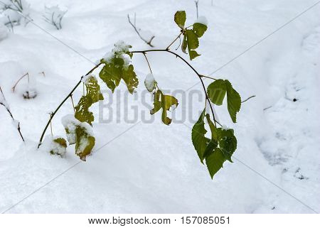 The image of a lonely branch with green leaves sticking out of a snow drifts.