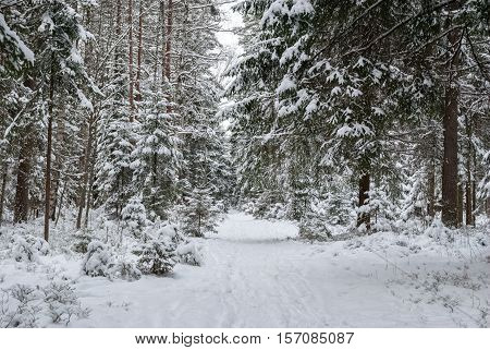Image of forest tracks in the winter snow-covered pine forest. Winter forest landscape.