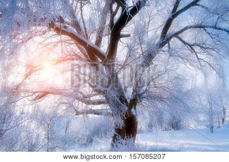 Winter landscape - spreading winter tree in sunset. Winter scene - wonderland tree in cold winter weather in winter forest. Winter forest in the sunset. Winter background. Winter landscape
