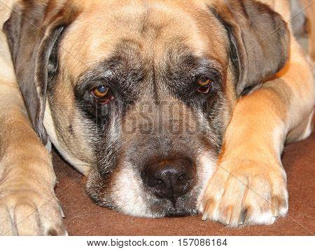 English mastiff dog with his head resting.