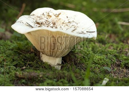 large inedible milk-agaric (Lactarius vellereus) on moss in forest