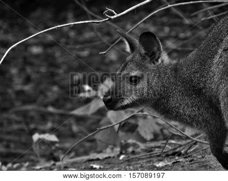 Wallaby, kangaroo head, black and white kangaroo, mammal, marsupial.